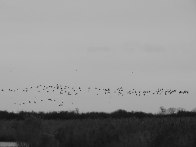 Low flying geese