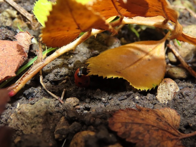 Ladybird under leaf