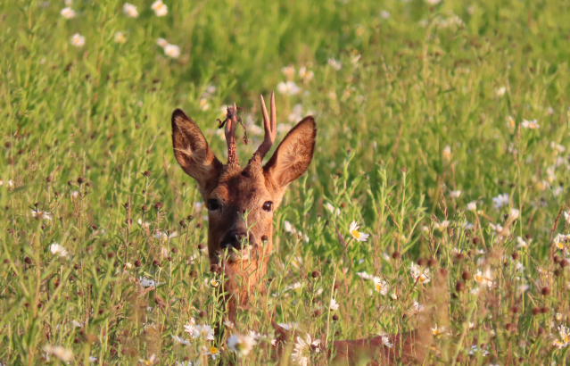 217.-Alex-White-Summer-Meadow-Deer-MPOY2020-small-16-18-yrs