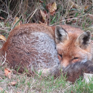 FOX SLEEPING