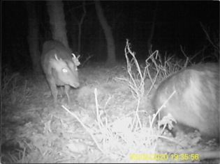 Badger and Muntjac