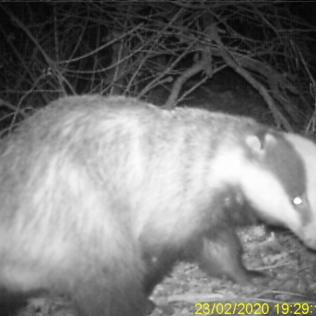 Badger no 2 ear