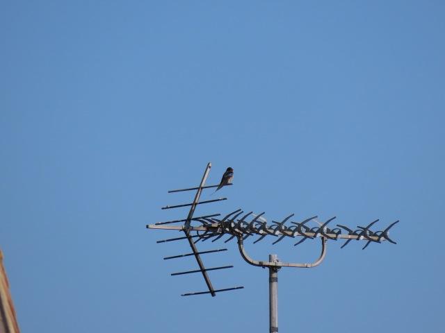 Male Swallow