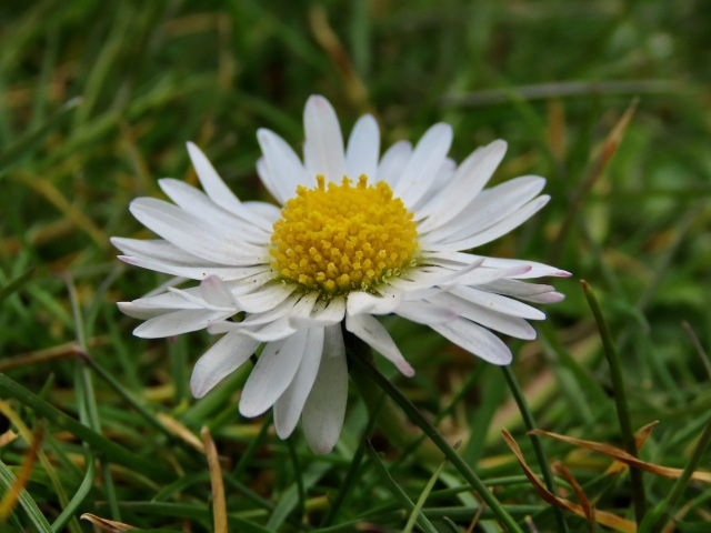 Common Daisy