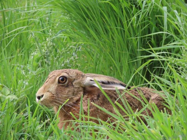 Edited hare