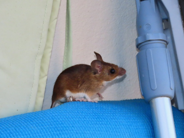 Wood mouse on yoga mat