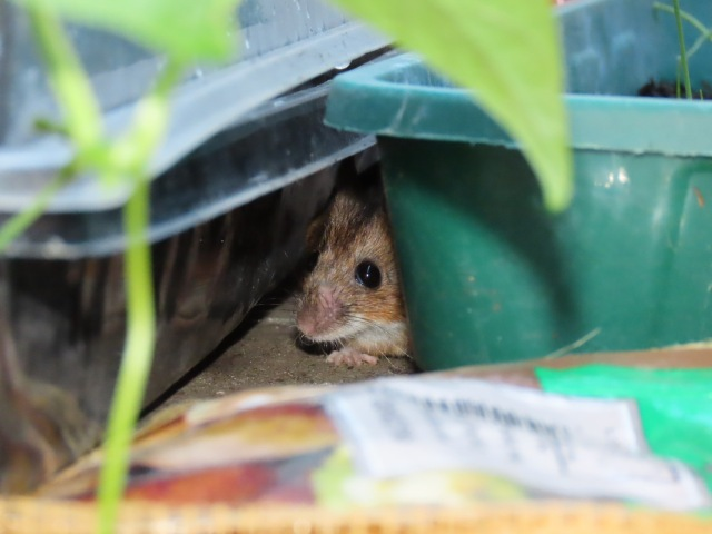Wood mouse behind plants