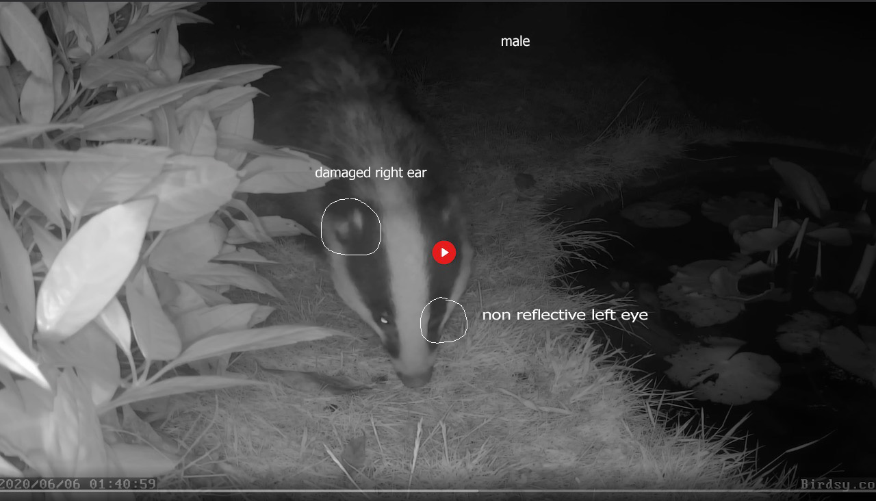 male badger L eye, R ear