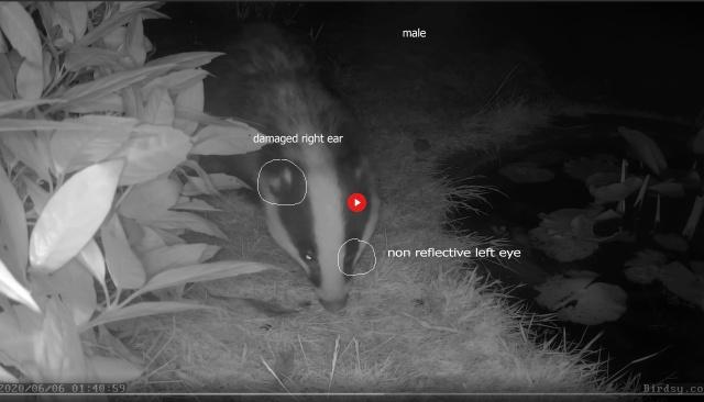 male badger L eye, R ear